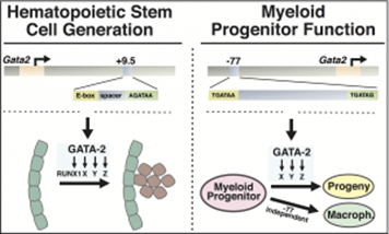 Hematopoietic Stem Cell Generation
